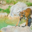 Royal Bengal tiger at zoo of Los Angeles — Stock Photo #11514460