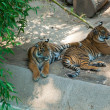Royalty-Free Stock Photo: Two royal Bengal tiger at zoo of Los Angeles