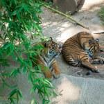 Two royal Bengal tiger at zoo of Los Angeles — Stock Photo