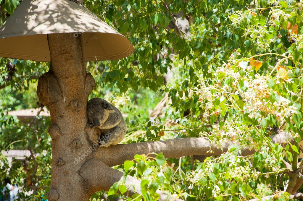 Australian Koala Bear with her baby in eucalyptus tree ,coffs harbor, Sydney, NSW, Australia grey bear — Lizenzfreies Foto #11514128