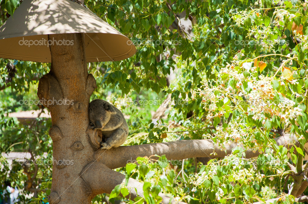 Australian Koala Bear with her baby in eucalyptus tree ,coffs harbor, Sydney, NSW, Australia grey bear — ストック写真 #11514128