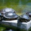 Tortoises Doing Sunbath — Stock Photo