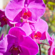 Beautiful purple orchid  - phalaenopsis — Stock Photo