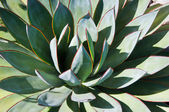 A nearly symmetrical agave plant — Stock Photo