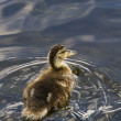 Duckling — Stock Photo #11057642