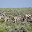 A family of Burchell's Zebras — Stock Photo