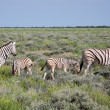 A family of Burchell's Zebras - Stock Photo