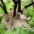 Group of resting lions — Stock Photo #11514778