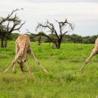 Giraffes family — Stock Photo #11514786