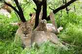 Group of resting lions — Stock Photo