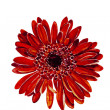 Red dahlia flower head watercolor — Stock Photo
