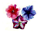 Watercolor three multi color petunias flower head — Stock Photo