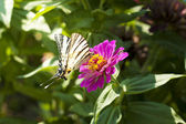 Papilio machaon butterfly on the red dahlia flower — Stock Photo