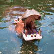 Hippopotamus open its mouth in a pond — Stock Photo
