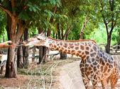 Visitors feeding a giraffe in a zoo — 图库照片