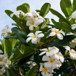 Stock Photo: Frangipani (plumeria) flowers on tree