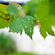 Drop of water on grapevine leaf — Stock Photo