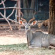 Greater Kudu — Stock Photo #11808553