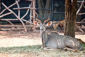 大捻角羚 — 图库照片