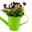 Stock Photo: Violets in green watering can
