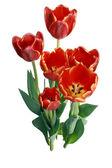 Kwiat tulipany — Zdjęcie stockowe