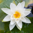 Close up of blooming water lily — Stock Photo