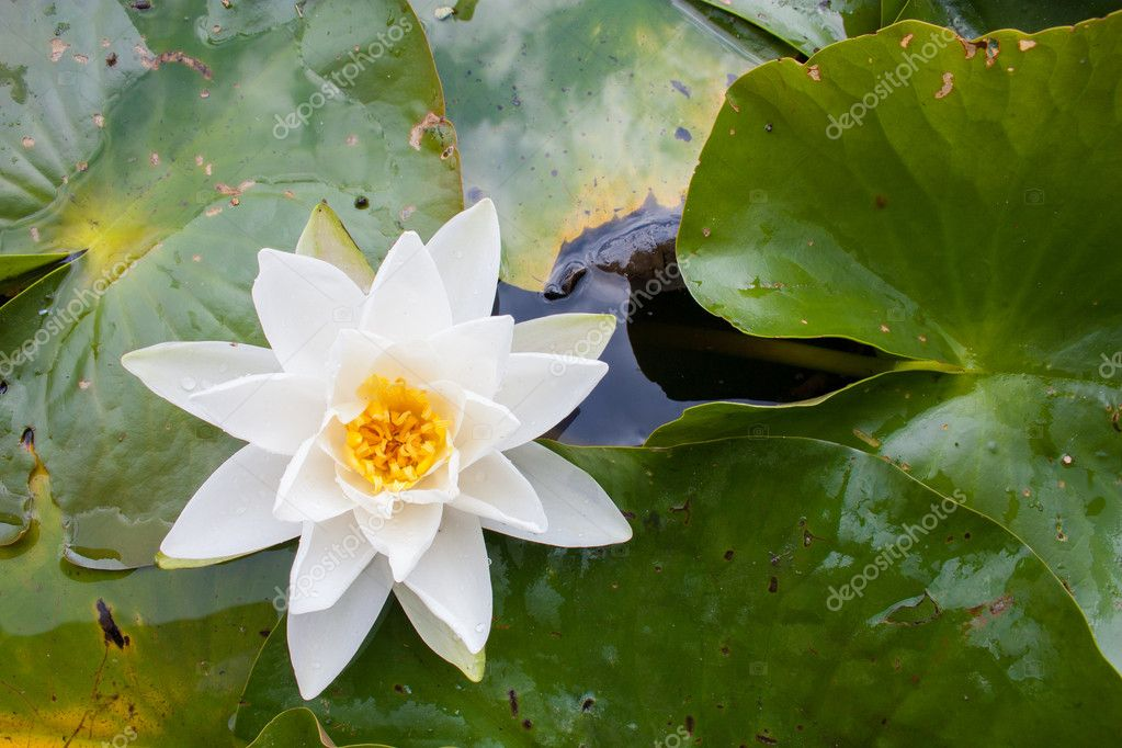 White water lily flower with yellow Stamens (Nymphae pygmaea) surrounded by big green leaves floating on the water — Stock Photo #12033008