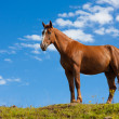 One quarter horse standing on a hill — Stock Photo