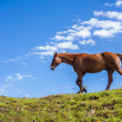 One quarter horse walking on a hill — Stock Photo