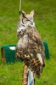 Brown Owl — Stock Photo