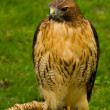 Yellow Hawk — Stock Photo