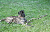 Giant Mastiff Guard dog — Stock Photo