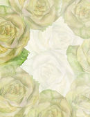 White rose background — Stockfoto