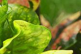 Croton Leaves — Stock Photo