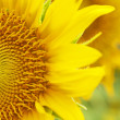 Sunflowers — Stock Photo #11409454