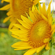 Sunflowers — Stock Photo #11409506