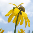 Yellow Flowers :  : Cosmos — Stock Photo