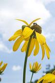 Yellow Flowers : : Cosmos — Stock Photo
