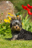 Portrait of Yorkshire Terrier. Vertically. — Stock Photo