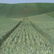 Undultaing field with green grain — Stock Photo