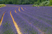 Color lavenderfield. — Stock Photo