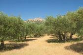 Olijfbomen in rij. — Stockfoto