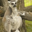 Tailed lemur sitting on tree trunk - Stock Photo