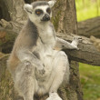 Tailed lemur sitting on tree trunk — Stock Photo