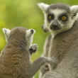 Couple of lemur with food. — Stock Photo