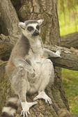 Tailed lemur sitting on tree trunk — Stock Photo