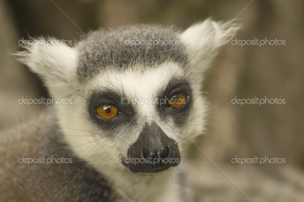 Close-up portrait of lemur catta (ring tailed lemur) — Stock Photo #11782640