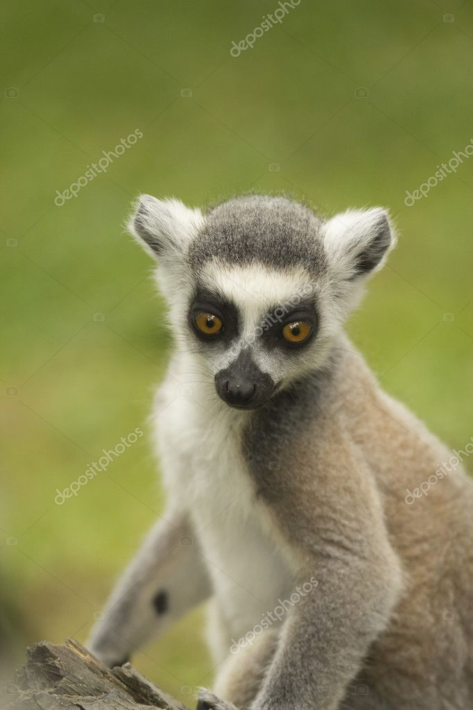 Close-up portrait of lemur catta (ring tailed lemur) — Stock Photo #11782659