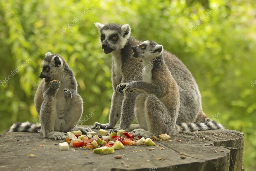 Group tailed lemur (Ring-tailed lemurs ) with food. Horizontally.  Stock Photo #11782667