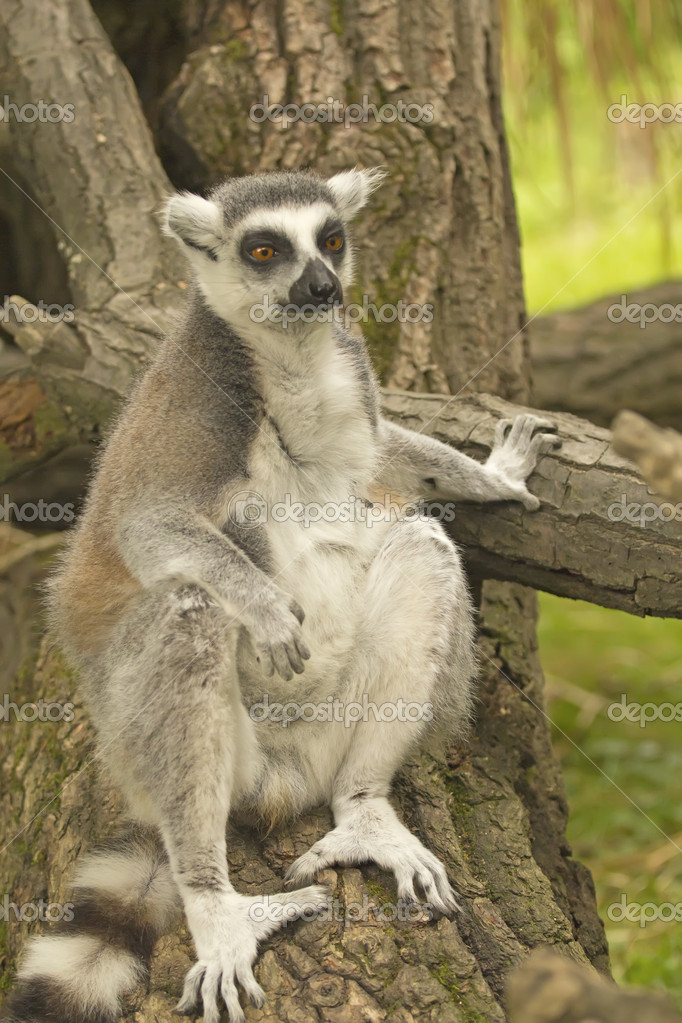 Close-up portrait of sitting lemur catta (ring tailed lemur) — Foto Stock #11782678